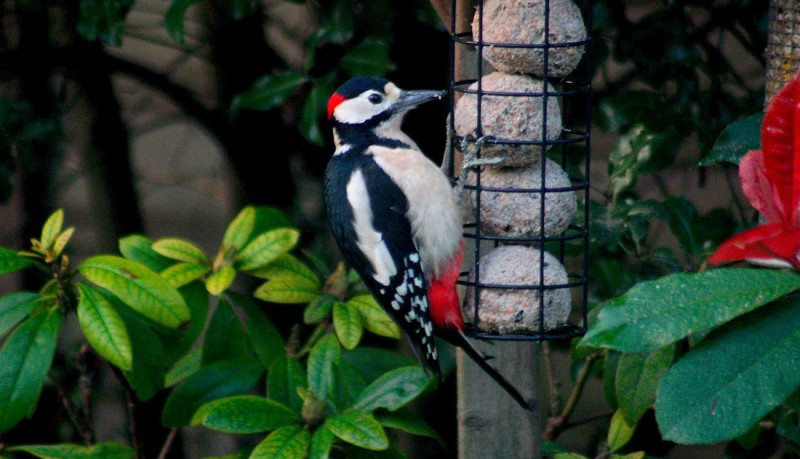 Male Greater Spotted Woodpecker